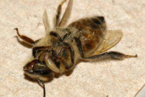 личинка муха-горбатка