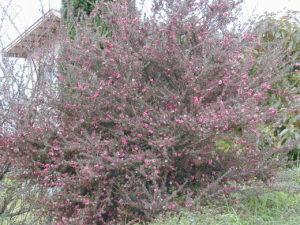 манука дерево