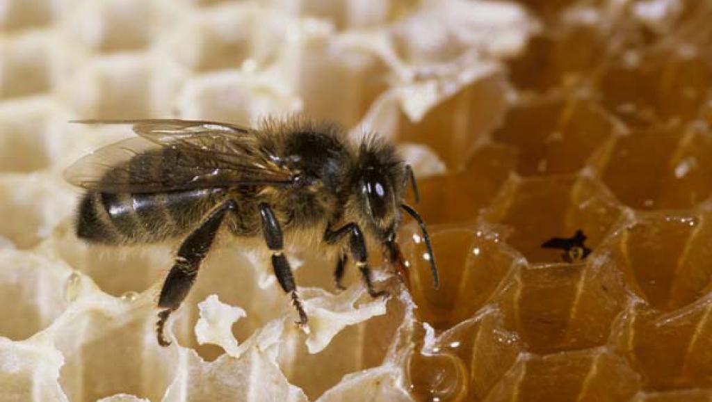Правильные французские пчелы делают правильный мёд