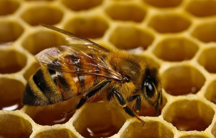 Азербайджан приступил к искусственному выведению чистокровных пчеломаток