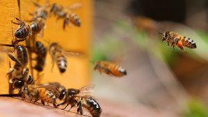 пчёлы у летка