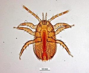 Клещ Tropilaelaps