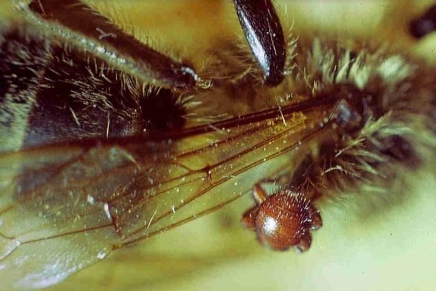 Вошь пчелиная (браула)
