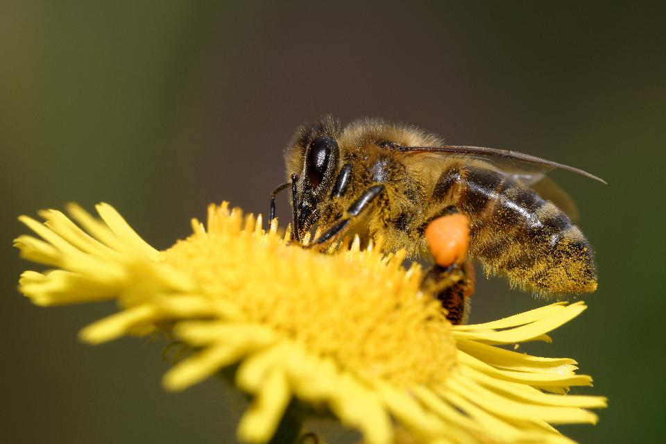 вымирание пчёл