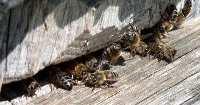 Производство мёда снизится вдвое из-за холодного лета