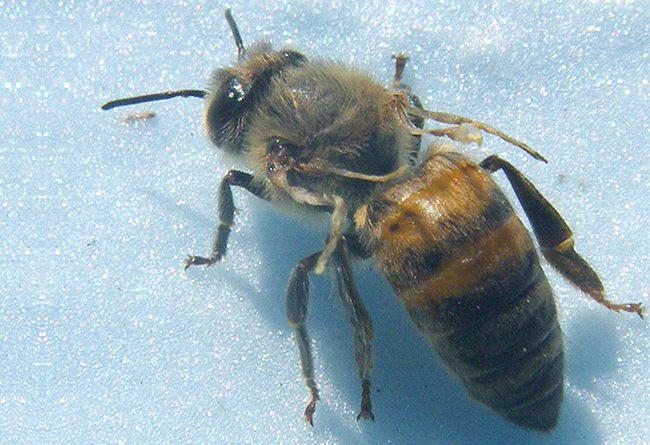 в башкирии обнаружили вирусную инфекцию пчёл